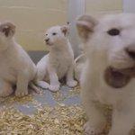 VIDEO. Naissance exceptionnelle de quatre lionceaux blancs au zoo de Toronto https://t.co/uqDHdR4SaL https://t.co/UQsKo3YjBU