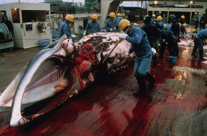WHAT?! Japan ignores science and international law. #whale hunts to start in Antarctic again https://t.co/lSsDCYo82y https://t.co/C1j8aunaPY
