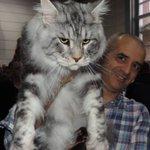 【画像17枚】世界最大のイエネコの一種『メインクーン』 https://t.co/k6WJTHxupV  山猫に似て凶暴そうな外見だが、ジェントルジャイアント(穏やかな巨人)と呼ばれるほど温厚で人懐こい性格。起源が不明の謎多きネコ https://t.co/roh4E1JRmO