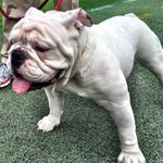 Uga looks ready for his first game at Tech! #UGAvsGT #WreckTech https://t.co/sMTsK837uG