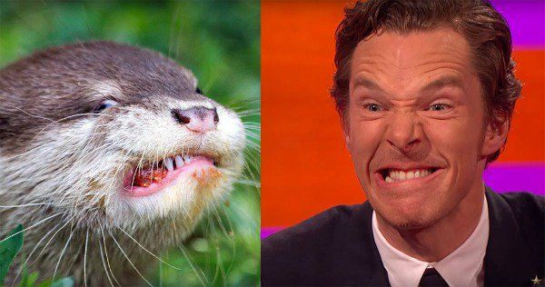 Benedict Cumberbatch's imitation is otterly perfect (see what we did there):