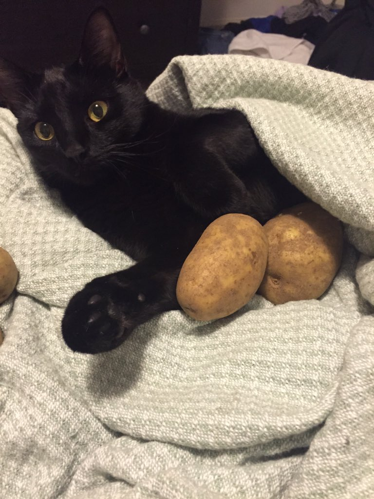 Okay Twitter, I have a cat question.  Is hoarding potatoes... normal? https://t.co/YeIJA2MBIH