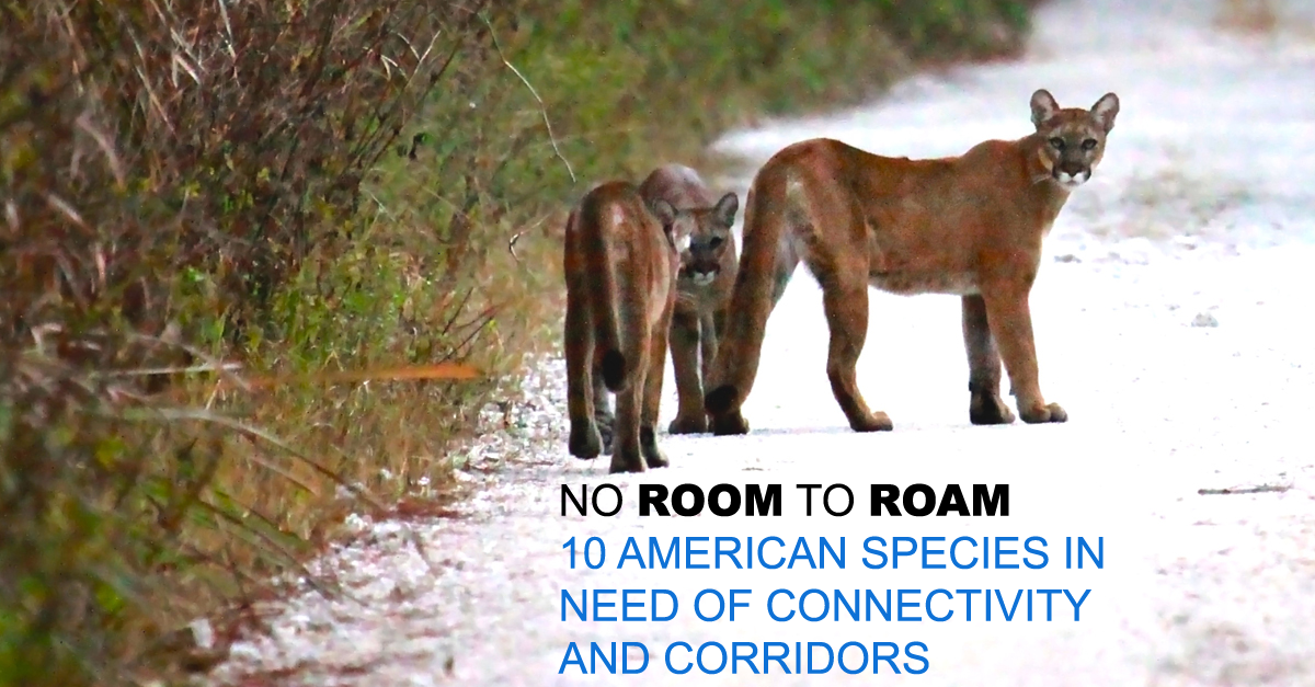 RT @endangered: NEW: Read our report highlighting 10 species lacking safe corridors: https://t.co/NgDO7vOGyg #noroomtoroam https://t.co/EGR…