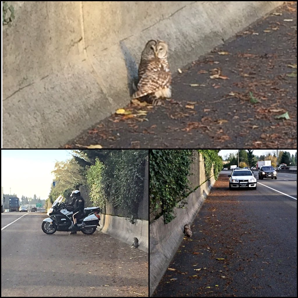We stood watch over this little guy today on I-5 until he could be rescued.  He's on his way to recovery now!