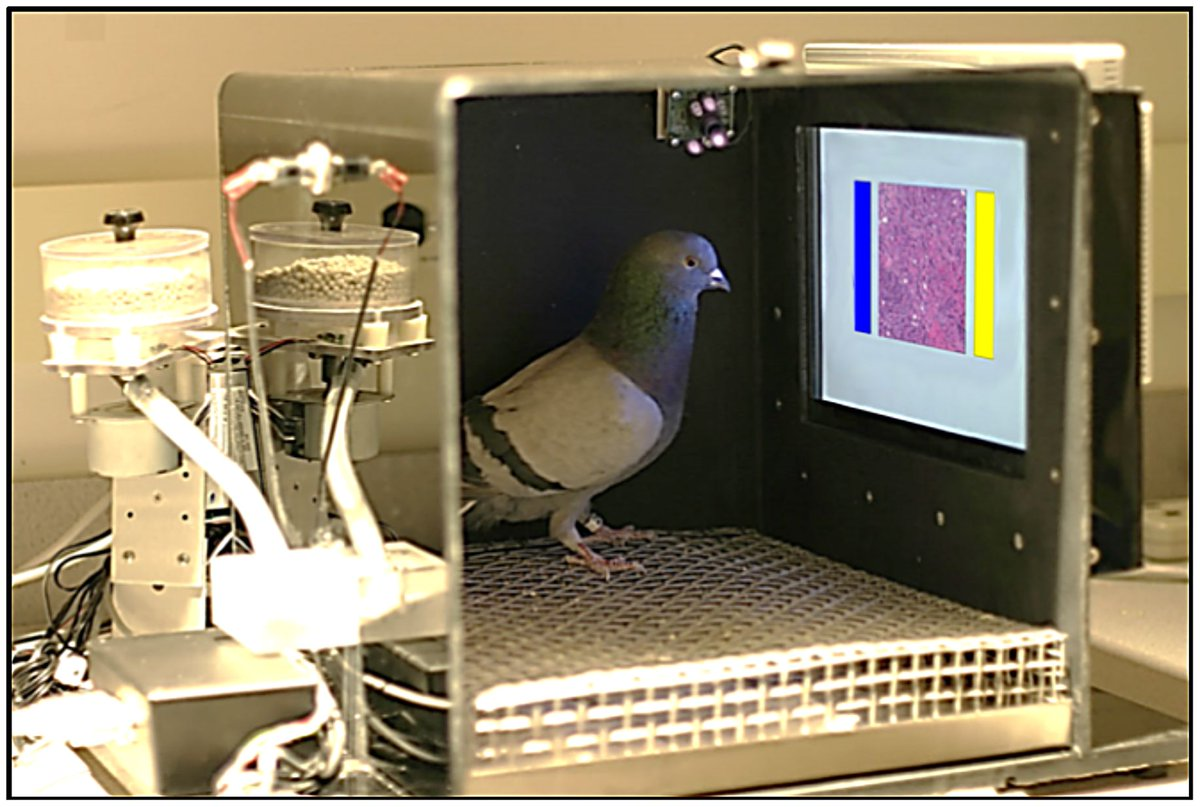 Pigeons as Trainable Observers of Pathology and Radiology Breast Cancer Images https://t.co/R88PwTbSwN https://t.co/vhfdZtVmvC