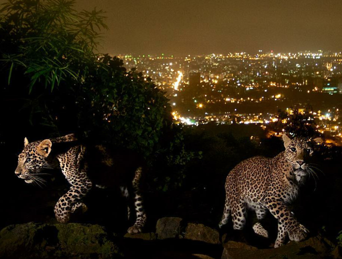 A brilliant photo of leopard cubs against Bombay's lights. https://t.co/QAuvQJWHyp HT @dipaah https://t.co/mwvOhf5F3h