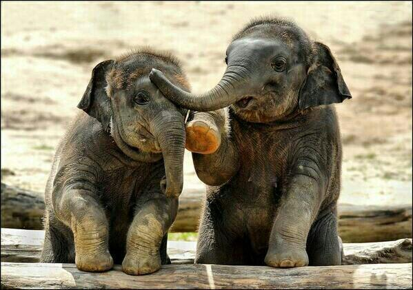 RT @_AnimalAdvocate: Stop #Elephant calves from being sold to #China & exploited for #entertainment https://t.co/mieDrANYIr @mygirlgarnet h…