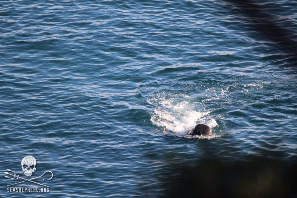 RT @CoveGuardians: 0815am: He/she continues to cry out and thrash around. In total 3 skiffs have transferred bodies. #tweet4taiji https://t…
