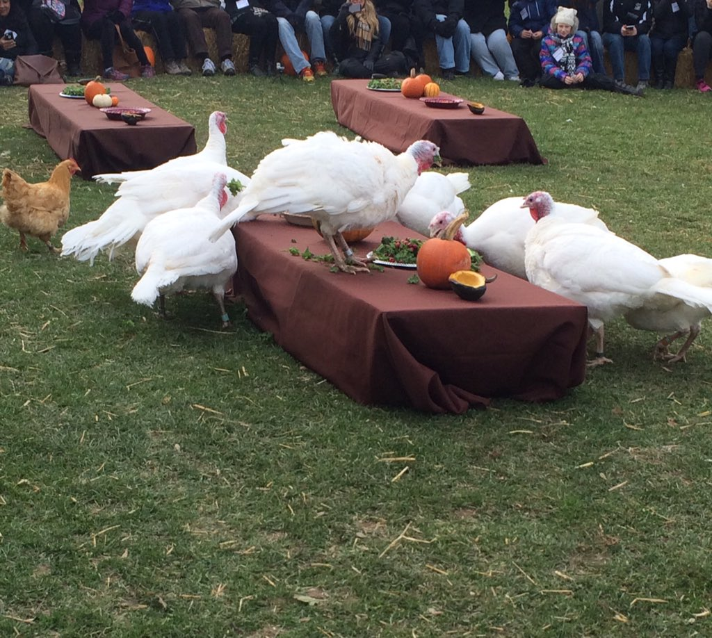 This is what Thanksgiving Turkeys on the Table should look like. #compassion #thanksgiving #turkeyday @FarmSanctuary https://t.co/19lTDxDTci