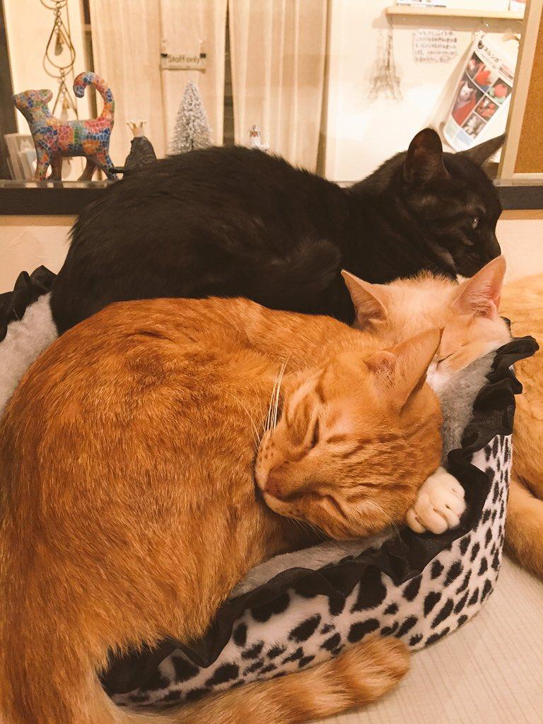 ファーちゃんちょっとキウイとメルくんが苦しそうですよ…? #猫 #neko #cat #猫カフェ https://t.co/8IbXoTUNr3