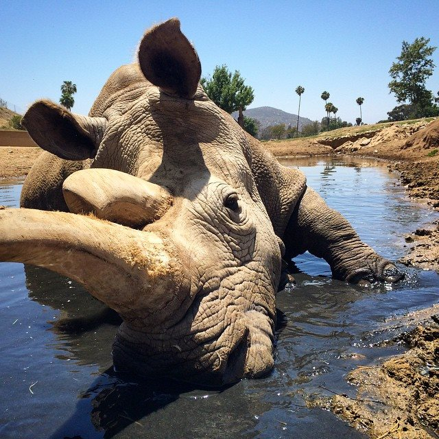 We're devastated by the loss of Nola. Only 3 northern white rhinos remain. Pls share condolences using #Nola4Ever. https://t.co/g9TkZpzVRz