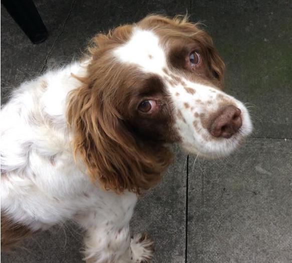 Tess the Spaniel was stolen from a car in Northumberland on Sat. Police appealing for info. https://t.co/t40NzYAUCS https://t.co/5T5uzidBwk