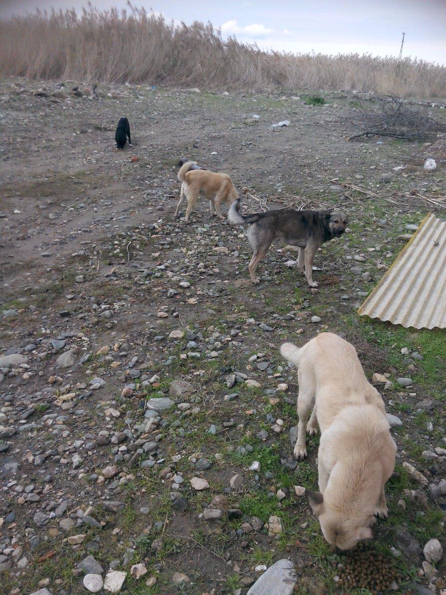 Bu canlar Edremit sazlıklarında yaşıyor ve yazlıkçılar döndüğünden beri açlar.Mama desteği için bana sesleniniz ltf. https://t.co/1jeT3XIfb6