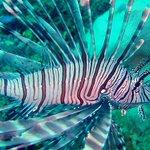 How about turkeyfish (aka lionfish) for #Thanksgiving dinner? https://t.co/tP2sD4NGXE @NOAA https://t.co/OG2YtnqOQA
