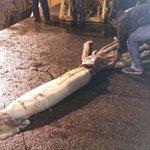 Este calamar gigante de 10 metros ha aparecido en las redes de unos pescadores en Asturias https://t.co/J4PeEVKAbU https://t.co/YBYPDrWJps