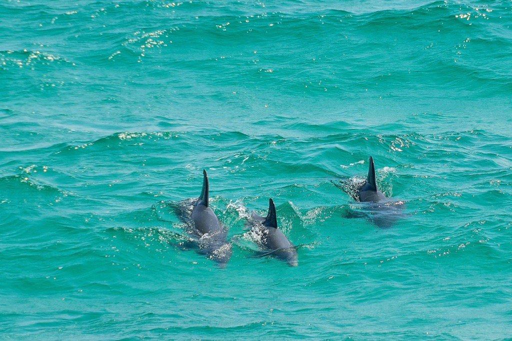 Dolphins ~ Pensacola Beach, Fl. https://t.co/PBjnMkB7Rz