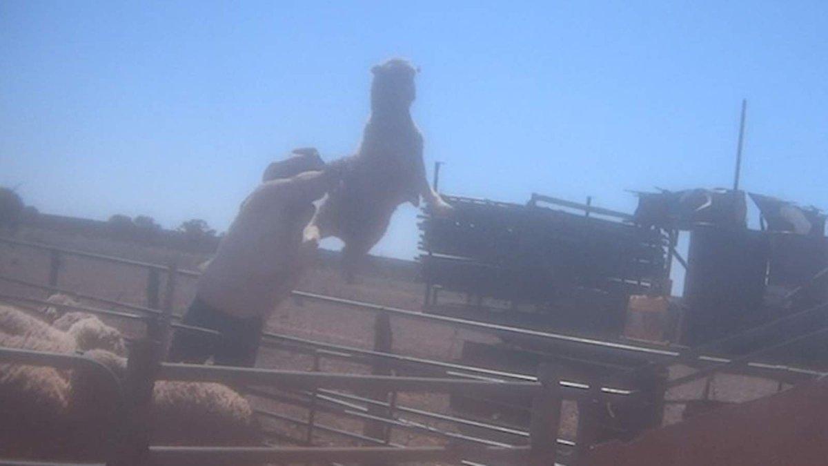 Video Reveals Abuse Of Sheep In Wool Industry https://t.co/1mdoJXwZp2 https://t.co/u7YzKCoFTC