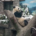 Giant panda plays in the snow at the Beijing Zoo: https://t.co/8Q7X4dLahP https://t.co/mkmMIzOxb9