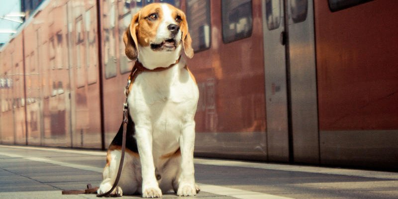 Wanna take your pet home for Thanksgiving? Amtrak says you can!