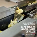 Nueva campaña revela el maltrato tras la carne de pollo https://t.co/vAPHzr8hsR ¡Denuncia usando el HT #SuPrimerDia! https://t.co/jL5Ifv6Td9