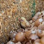 Igualdad Animal denuncia maltrato pollos en primeras imágenes de industria https://t.co/MCIOKoucAk @IgualdadAnimal https://t.co/OCopqBsrgv