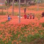 """Nih lho yang maksudku kemaren itu ;) @lathif1991_ """"@Jogja24Jam: kebun Bunga.. Lokasi: kec Patuk , Gunungkidul. https://t.co/8fMvRfYzs5"""