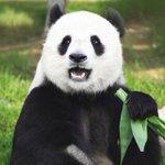 Científicos logran descifrar el idioma de los osos panda --> https://t.co/xdzpmKbhWt https://t.co/4DthQ9HJNh