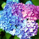 KAT-TUNに残る3人のカラーがピンク・青・紫と聞いて、まるで紫陽花みたいだなと。紫陽花の花言葉は…