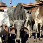RT ndtvindia: गाय को लात मारते #VHP कार्यकर्ताओं की तस्वीर हुई वायरल, संगठन ने दी सफाई... https://t.co/tLfsiwOOWw https://t.co/jwhxbd1FXf