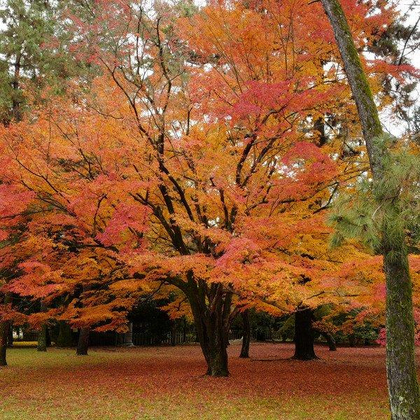12月も半ばに差し掛かろうとしていますが、京都御苑内では、このような美しいグラデーションの紅葉を見ることができます。 https://t.co/KjAFjDgVF1 #kbs_koyo https://t.co/Zyb2jtPEZz