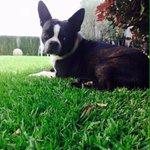 Su nombre es Rex se perdió hoy en la colonia los Ángeles en Uruapan @uruapan RT por favor. https://t.co/2MJsFqN9KZ