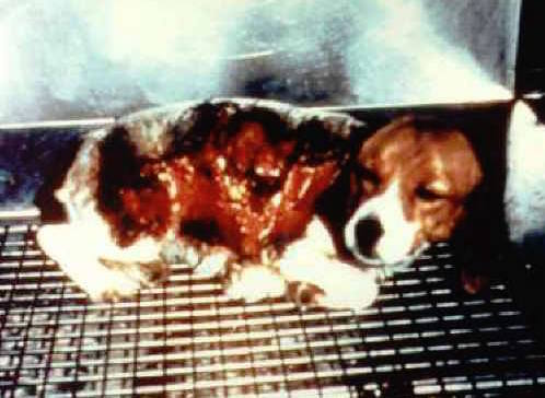 THIS IS ANIMAL EXPERIMENTATION AND IT'S PURE EVIL! Retweet to #donate $25 to @beaglefreedom. All $ is DOUBLED! https://t.co/oe2Tg2ygFZ