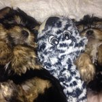 Two Yorkie puppies, Mario & Mimi, stolen from owner as she left store at 1rst and E 61 St in #NYC. @NBCNewYork https://t.co/UMLmj0zeRG