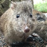 The world's rarest marsupial is under threat from fires and feral animals in the south of WA https://t.co/CvGBhox8uS https://t.co/4dd66Uo2sx