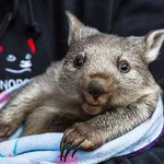 """""""Well if you ask me, swimming is overrated..."""" https://t.co/9n0wovALtL via @ABCNews (Pic: @BonorongTAS) @Australia https://t.co/gKs13HgfW9"""