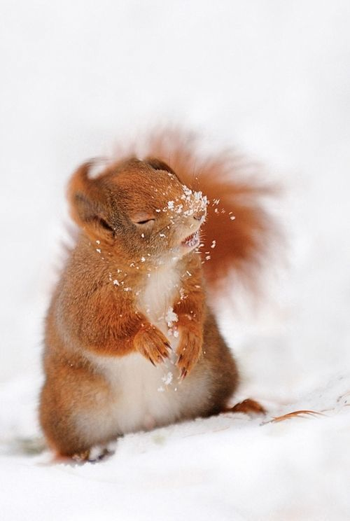 A red squirrel in the snow. #nature https://t.co/woLcNOsLTM
