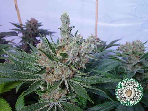 Strain Review: White Willow by Soma Seeds - https://t.co/ZAK3QbPl6W #cannabis https://t.co/gfhueJJb36