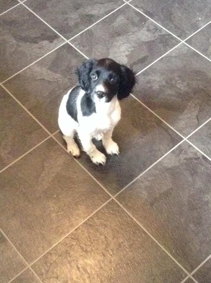 This puppy has gone missing. Got out from under a gate. please share. She is chipped. #curryRivel #somerset https://t.co/CSW2IZR49X