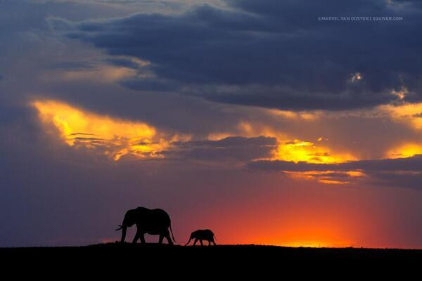 An African elephant and baby are crossing the Masai Mara at sunset. https://t.co/UzGsKdYuH1
