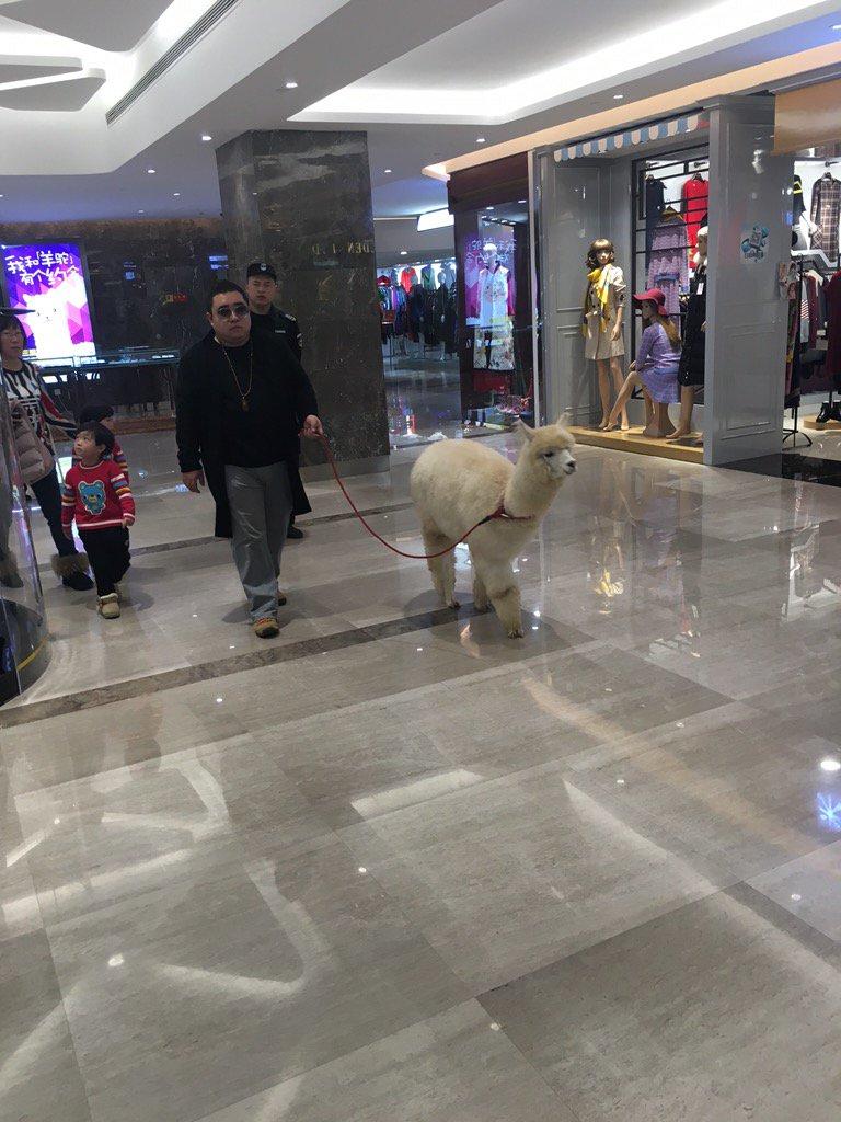 北京のデパート普通にアルパカ散歩してる人いてワロタ https://t.co/GNRbiiUmRy