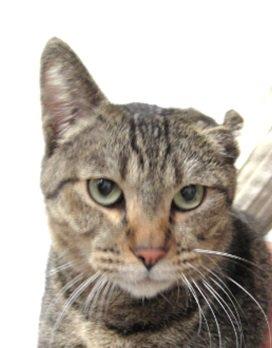 新日本カレンダー(ペピイ事業部)で迷い猫を保護しております。 キジトラ/成猫/オス/4kg 左耳が子猫の時に病気等で小さくなっています。 人懐っこく誰が触っても嫌がりません。 連絡先は06-6971-1261まで。連絡待ってます。 https://t.co/PVrDl6Ssyu