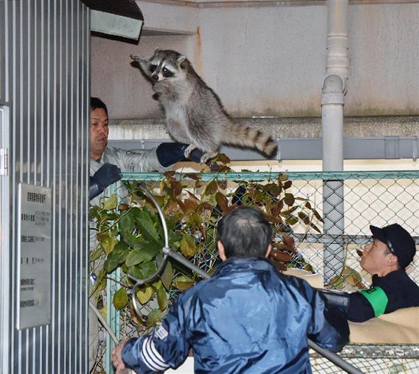 今度は大阪・キタで「アライグマ」が逃走中? サルに続き… - 産経ニュース https://t.co/BlLyTqwep7 なんかええ写真やね。 https://t.co/lXaRaIGznH
