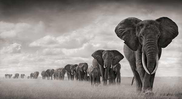 Gorgeous black & white picture of a big herd of Elephants! https://t.co/iyxNPgJYER