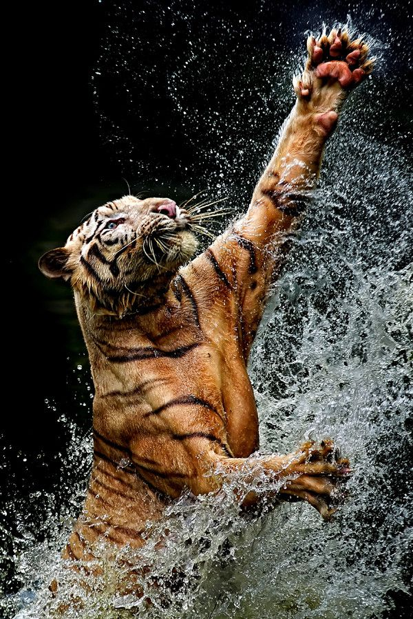 Pretty cool... Tigers in Water by Photographer Yudi Lim #Tigers #wettiger #animalphotography https://t.co/6rhVZSSk4m