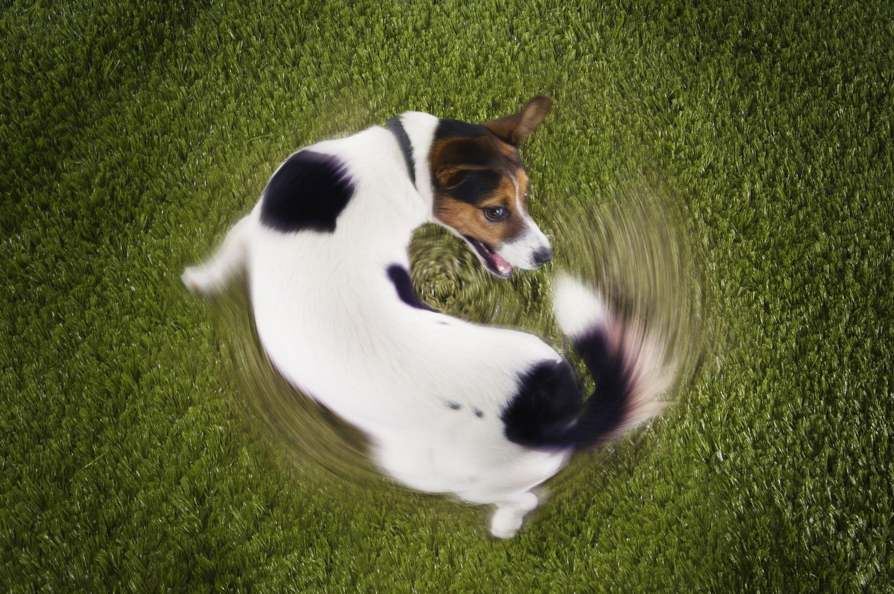Почему собаки бегают за хвостом