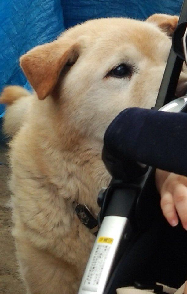 姉の飼い犬が行方不明になりました、行政、警察、道路管理等には問い合わせしてますが該当なく、探してますが全く見当たりません、保護して下さった方、見かけた方いませんか? 雑種、中型犬、クリーム色です、滋賀県近江八幡市辺り https://t.co/vjNnmEHXDb