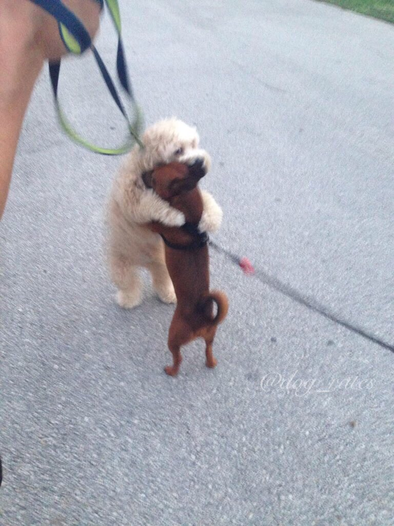 Meet Hurley. He's the curly one. He hugs every other dog he sees during his walk. 11/10 for spreading the love https://t.co/M6vqkt2GKV