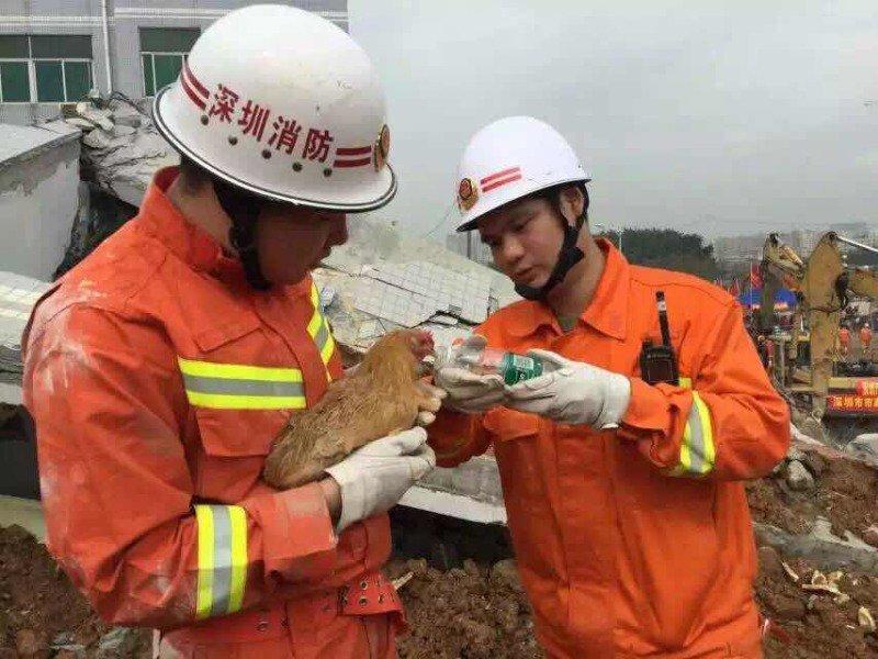 在救援黄金72小時內,深圳方面救出了一個幸存者、找到两具遇难者遺體,此外,救援隊伍除了進行火線入黨等儀式,他們還救了一隻雞!沒錯!真的是一隻雞!他還把雞抱起來喂水,他們說這隻雞代表了希望,以後要好好饲養! https://t.co/AfbEhcbjOt