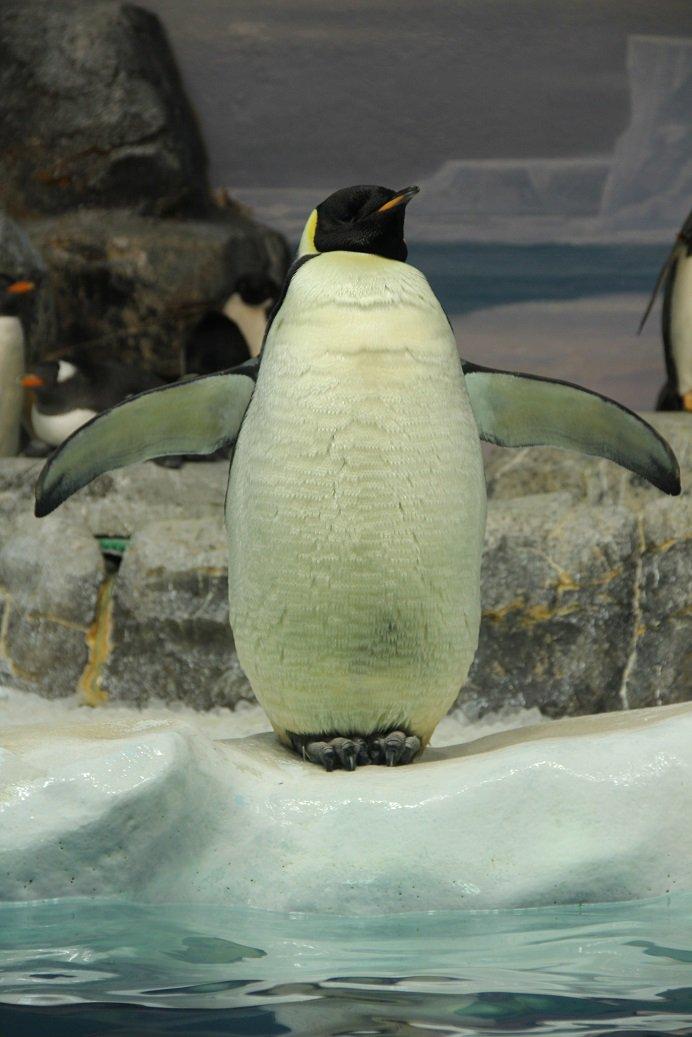 ユキカゼさんの首は伸びるぞ(名古屋港水族館で撮影) https://t.co/6RRCWV77AR