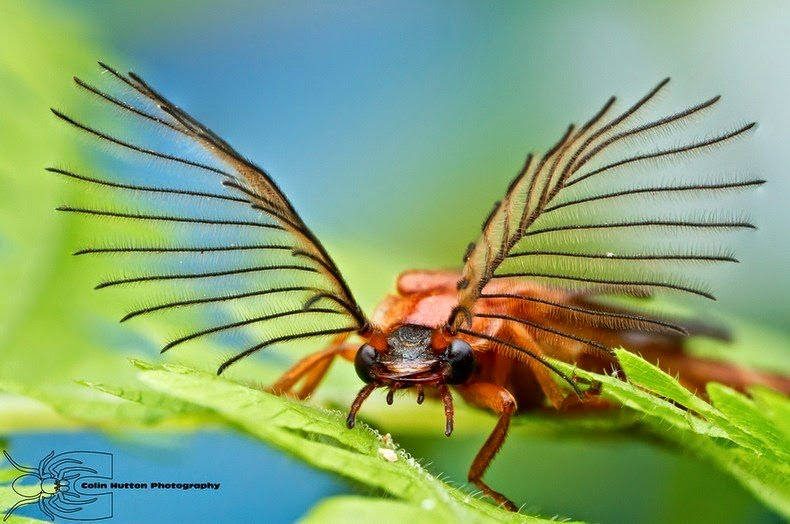 Glowworm Beetles Have The Most Magnificent Antennas Ever https://t.co/ghaO2OTbVq https://t.co/y6E312Z9If